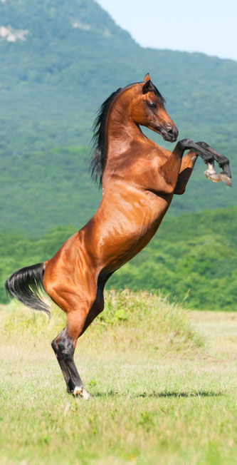 Arabian stallion rearing