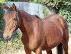 Great Mare for leisure, grounds, breeding