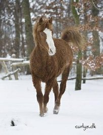 American Curly Horse Horse