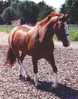 Horse Breed Freiberger Horse