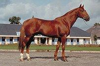 Französischer Traber Pferd
