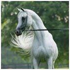 Ägyptischer Vollblutaraber Pferd