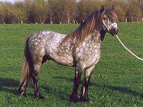 Dales Pony Horse