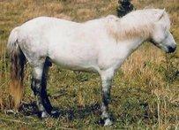 Cheju Pony Pferd