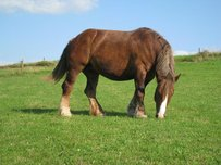 Bretone Horse
