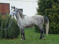 Arabian Thoroughbred Horse