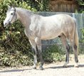 Gorgeous Arabian gelding for leisure time, distance & sports