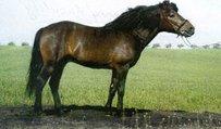 Huzule Pferd
