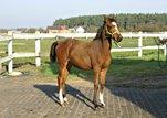 Lovely Arabian french/polish bloodlines endurance prospect