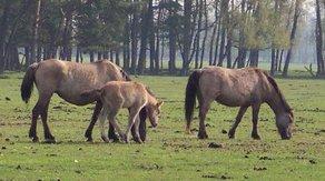 Pferderasse Dülmener Pony