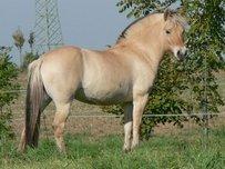 Fjordpferd Pferd