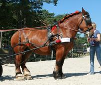 Auxois Horse
