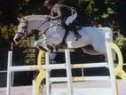 For sale Stallion Cornet Obolensky for breeding or to Pack